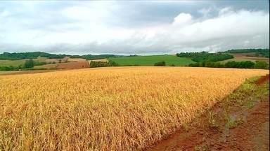 Chuva não dá trégua no RS e afeta plantio de arroz e colheita do trigo - Quem planta arroz está apreensivo porque precisa de tempo seco para semear os grãos. No caso do trigo, enquanto algumas espigas estão verdes, outras já estão prontas para colher.