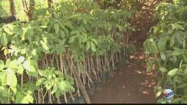 Araras, SP, ganhará 20 mil novas mudas de árvores - Cidade tem uma árvore para cada 5 habitantes, sendo que recomendação da OMS é de 5 árvores para cada um habitante.
