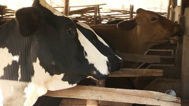 JM no Campo discute a reclamação do produtor quanto ao preço do leite e a vacina da aftosa - Os produtores pedem a redução da carga de impostos; confira.