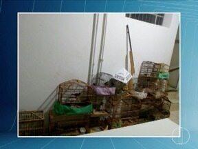 Pássaros silvestres são apreendidos durante ocorrência de briga de casal em Nova Esperança - Arma e dezesseis pássaros silvestres foram apreendidos no Distrito de Nova Esperança; aves estavam em cativeiro sem autorização ambiental.