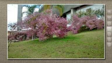 Congeia ou côngea é um tipo de trepadeira florida - A espécie é uma trepadeira tipo cipó, originária da Índia, de rápido crescimento e muito bonita. Ela só não tolera geada. Por ser trepadeira, o ideal é que ela fique apoiada em cerca, grade ou muro.