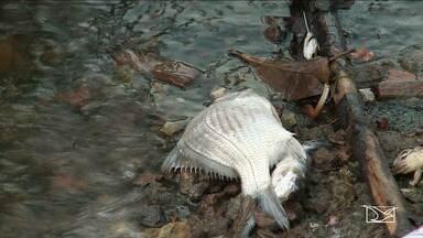 Peixes morrem na barragem do Bacanga, em São Luís. - A Secretaria Estadial de Meio Ambiente informou que vai analisar a água da barragem.