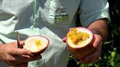 Maracujá roxo surge em plantação de maracujá amarelo em MG - O surgimento do fruto diferente provocou preocupação no dono plantação.