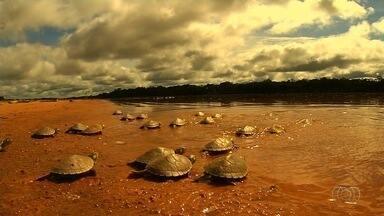 Milhares de filhotes de tartarugas morreram após ninhos ficarem alagados em praias - Como choveu muito na região, o nível da água subiu e atingiu a areia antes de as tartarugas estarem prontas para sair dos ninhos, em Goiás.