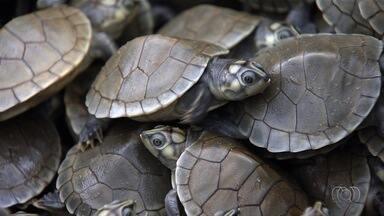 Milhares de filhotes de tartaruga morrem às margens do Rio Araguaia - Forte chuva aumentou o nível de água do rio e matou os filhotes.
