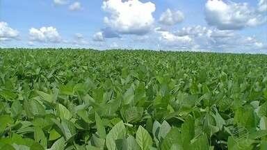 Desenvolvimento da safra de soja anima agricultores em MT - Depois do atraso no plantio lavouras crescem bonitas e promissoras.