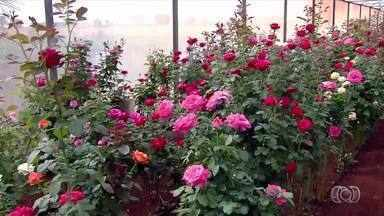 Plantar, Cultivar e Viver: saiba a forma correta de manter uma roseira em casa - Plantar, Cultivar e Viver: saiba a forma correta de manter uma roseira em casa