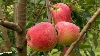 Extremo Norte do ES é destaque em produção de maçãs em temperaturas altas - A produção na região e totalmente orgânica.