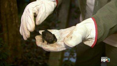 Aumenta o número de morcegos recolhidos em Foz do Iguaçu - Muitos deles estavam infectados com o vírus da raiva
