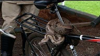 Cobra é encontrada enrolada embaixo do banco de bicicleta em clube de Itumbiara - Jiboia tem 1,5 metro de cumprimento. Bombeiros acreditam que ela caiu da árvore e acabou se enrolando na barra.