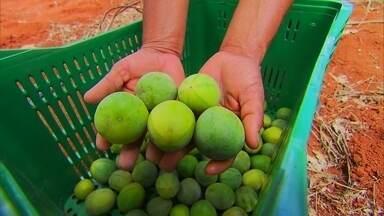 """Maracujá desenvolvido no DF está transformando a vida de assentados da Reforma Agrária - A fruta foi adaptada ao clima e está fazendo sucesso. Quem prova da """"Pérola do Cerrado"""" não esquece o sabor."""