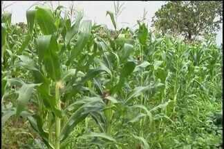 Moradores de Ituiutaba aproveitam terrenos vagos para cultivo de alimentos - Na cidade, prefeitura estima que existam mais de 15 mil lotes vagos. Em uma dessas áreas, antes ocupadas por lixo e mato, agora há um milharal.