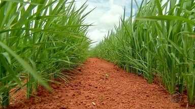 Cai a produção de arroz em Mato Grosso - Em 10 anos, o total de arroz produzido em Mato Grosso caiu quase pela metade. Um dos motivos é a substituição de lavouras de arroz por soja
