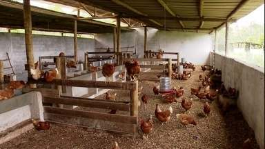 Criadores de MG aumentam a produção de ovos com manejo adequado - Em Minas Gerais, estudantes de veterinária orientam pequenos criadores para evitar problemas de higiene nos galinheiros, na saúde e produtividade das aves. O resultado é imediato.
