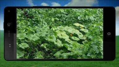 QVT do Campo mostra plantação em chácara no município de Novo Acordo - QVT do Campo mostra plantação em chácara no município de Novo Acordo