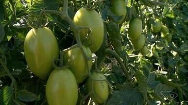 Produtores de tomate de Alto Caxixe estão animados com a produção e com os preços - Propriedades ficam em Venda Nova do Imigrante.