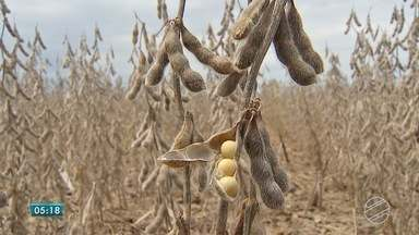 Rural: destaque é para o inicío da colheita da soja em MS - A soja começa a ser colhida nos campos. Produtores aproveitam os dias de sol para colocar as máquinas para trabalhar.