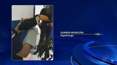 Filhote de tucano é resgatado por guardas municipais na área central de Itapetininga - Um filhote de tucano foi resgatado por uma equipe da Guarda Civil Municipal na área central de Itapetininga (SP), nesta segunda-feira (29).
