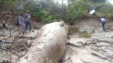 Baleia é encontrada morta em Arari, na baixada maranhense - Animal de água salgada ser encontrado tão longe em água doce tem intrigado biólogos.