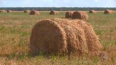 Produtores de Uruçuí fazem ração de gado usando a palha do arroz - Produtores de Uruçuí fazem ração de gado usando a palha do arroz