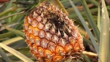 Abacaxi é jogado fora em lavouras de Minas Gerais - Há excesso de oferta, e os agricultores não conseguem colocar a fruta no mercado.