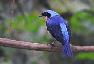 Saíra-viúva tem plumagem brilhante - Espécie vive aos pares e tem habilidade de caçar em voo.