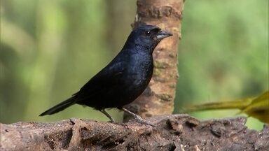 Visitantes vão à Serra de Paranapiacaba observar a beleza das aves - Fotógrafos e admiradores fazem trilha pela mata para observar as aves.