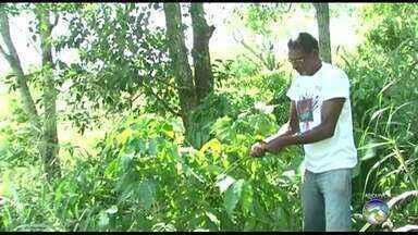 Produção de café aumenta após chuvas em Triunfo - Município registrou chuvas fortes no início do mês de março