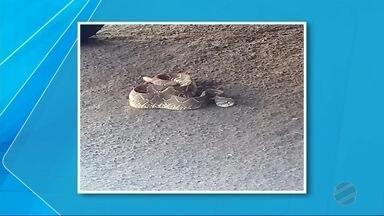 Cobra venenosa é capturada embaixo de carro no Centro de Naviraí - Corpo de Bombeiros isolou o local por causa do perigo e depois soltou o animal às margens do Rio Tatuí.