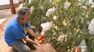 """Produtores de tomate sem agrotóxicos recebem selo """"Tomatec"""" de boas práticas agrícolas - Os produtores do Paraná receberam o selo durante a Exposição de Londrina. Com ele, é possível que o consumidor saiba como o tomate é produzido."""