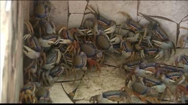 Prazo para captura do caranguejo tipo guaiamum termina em menos de 20 dias - A venda poderá ser feita, com o estoque regularizado, até o fim de junho.