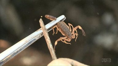 Cresce a invasão de escorpiões em Foz do Iguaçu - No Campos do Iguaçu a incidência tem sido grande