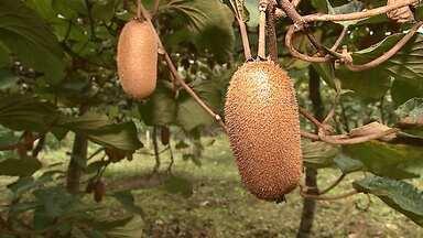 Assista ao 3º bloco do Caminhos do Campo do dia 29 de abril de 2018 - A colheita do kiwi e uma receita com a fruta, 'kiwinoffi'