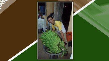 Curioso: agricultor colhe 'super' cacho com 212 bananas da terra - O normal para a espécie é ter entre 100 a 120 frutos.