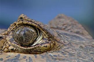 Jacaré é capturado em lago de Mogi - Ele era monitorado há mais de 40 dias.