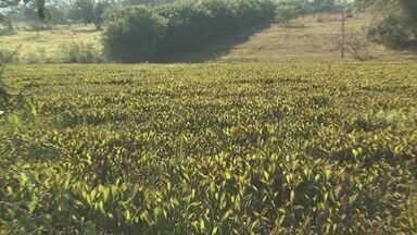 Invasão de aguapés na represa do Portal das Laranjeiras, em Araraquara, causa transtornos - Peixes estão morrendo e causando mau cheiro na área.