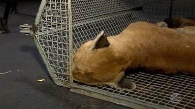 Onça entra em ferro-velho nesta quinta-feira em Dracena - Bombeiros levam algumas horas para resgatar animal, que não resistiu e morreu.