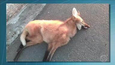 Biólogo fala sobre atropelamento de animais silvestres em estradas de Visconde de Mauá, RJ - Especialista estudou durante dois anos, os atropelamentos de animais silvestres na RJ-163 e na BR 354.