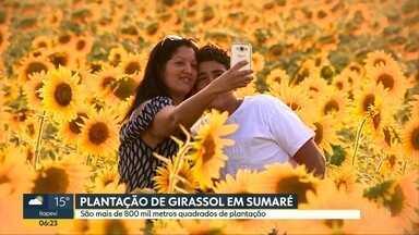 Plantação de girassóis vira ponto turístico em Sumaré - Plantação com mais de 800 m² é programação certa para o fim de semana, em Sumaré, na região de Campinas.