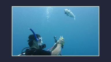 Peixe robô ajuda na preservação da vida marinha - Robô foi projetado pelos pesquisadores do Instituto Tecnológico de Massachussetts, nos Estados Unidos. O nado, quase idêntico ao dos peixes de verdade, vem de uma bomba hidráulica que move a cauda, feita de um material que também ajuda na fluidez.