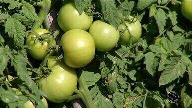 RJ Rural mostra como tecnologia vem ajudando no cultivo do tomate em Paty do Alferes, RJ - Além do tomate comum, a cidade também produz o sweet grape, um tomate com alto valor comercial.