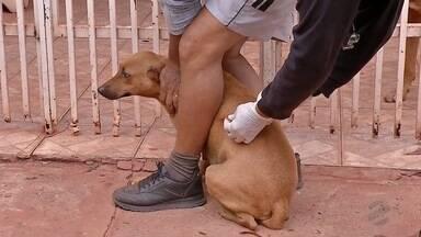 Equipe de zoonoses também vacinam contra raiva em Ladário - São 14 equipes que estão vacinando os cachorros de casa em casa. Campanha também é realizada em Corumbá.