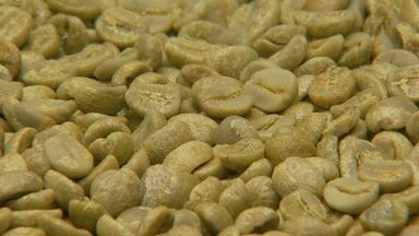 Cafeicultores comemoram que grãos de café ficaram maiores com as chuvas no Sul de Minas - Cafeicultores comemoram que grãos de café ficaram maiores com as chuvas no Sul de Minas