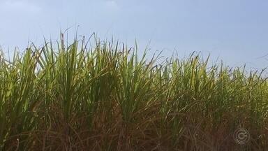 Dados do IBGE mostram que área rural e número de propriedades caíram em Tatuí - Foram divulgadas as informações sobre o censo agro 2017. O levantamento feito pelo IBGE revelou quem em Tatuí os dados não são otimistas, principalmente quando o assunto é a área de cultivo. Nos últimos dez anos houve redução de 8%. Mas também teve dados positivos. A produção de cana-de-açúcar, por exemplo, passou para 400 mil toneladas.