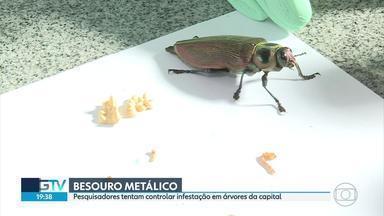Pesquisadores tentam controlar infestação de besouros metálicos em BH - Insetos atacam árvores da capital mineira.
