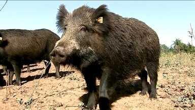 Produtores rurais querem derrubar uma lei que impede a caça de animais silvestres em SP - Entre os animais está o javali, que é considerado uma ameaça às plantações. Mas ambientalistas acham que esse controle deve ser feito pelo estado.