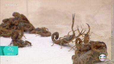 Infestação de escorpiões - Saiba como evitar que eles entrem em casa