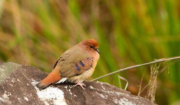 O encontro com a ave redescoberta - Rolinha-do-planalto era declarada como extinta mas hoje é protegida em Botumirim, Minas Gerais.
