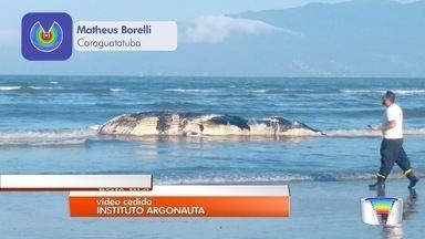 Baleia jubarte é encontrada morta na praia do Indaiá em Caraguatatuba - Animal era um filhote e tinha cerca de seis metros de comprimento. Como ela estava em decomposição, não foi possível saber as causas da morte.