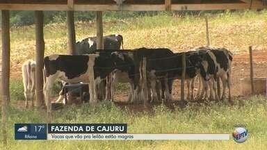 Leiloeiro aponta desnutrição de gado leiteiro em fazenda de ré na Operação Sevandija - Ao todo, 143 vacas holandesas serão leiloadas em 10 de setembro.